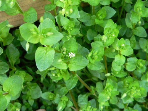 Chickweed Patch